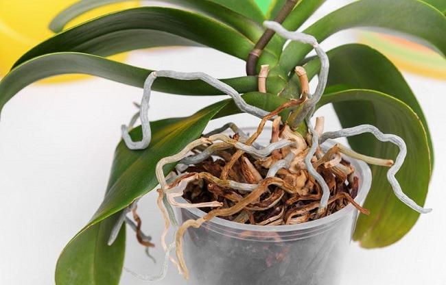 Орхидея пересохла