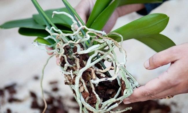 Корни орхидеи фаленопсис