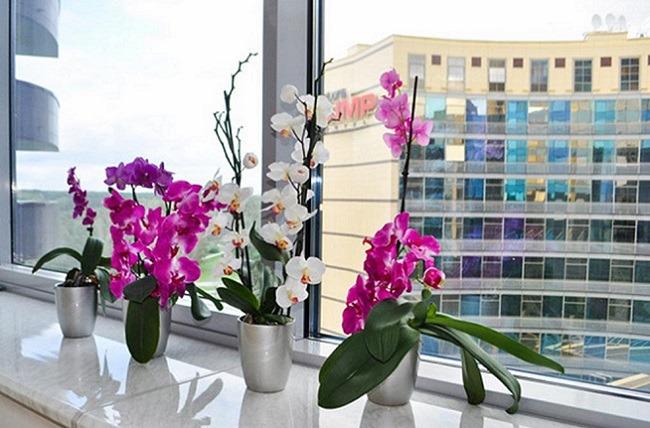 Орхидеи фаленопсис на подоконнике