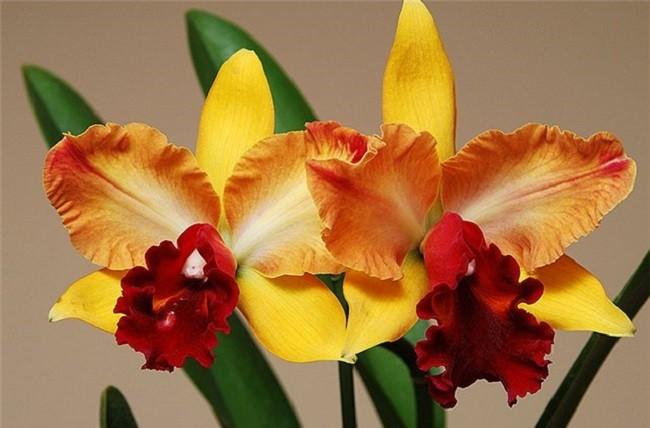 Оранжевая орхидея каттлея