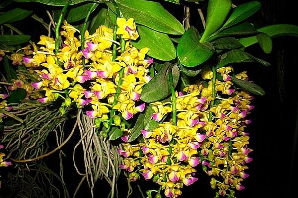 Вьющаяся орхидея Аэридис