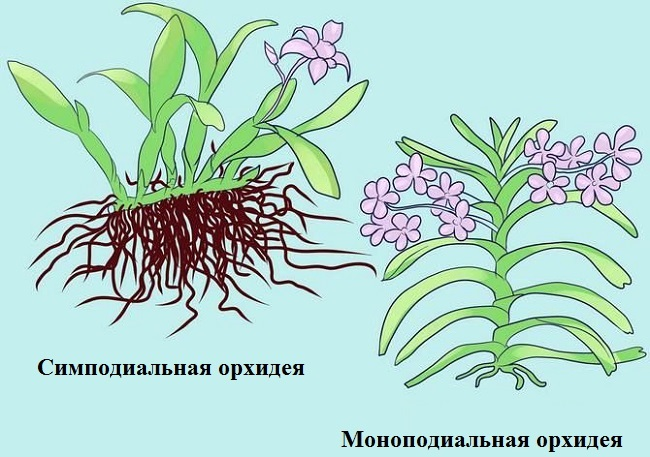 Симподиальная и моноподиальная орхидея