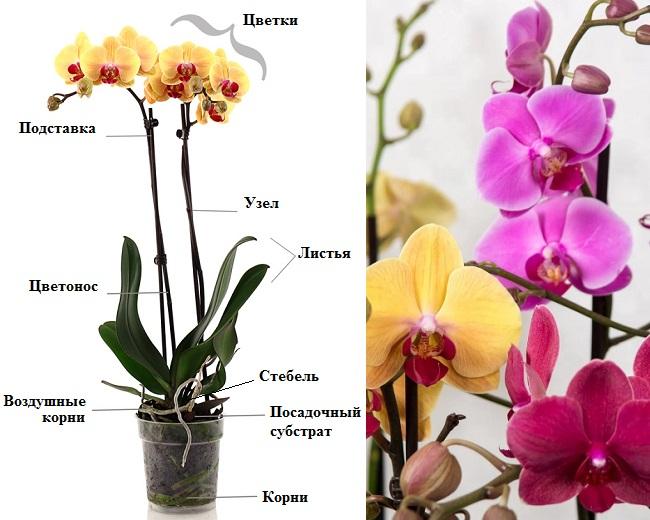 Схема строения орхдеи фаленопсис