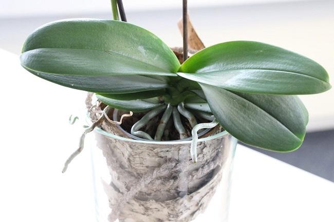 Здоровые листья орхидеи фаленопсис