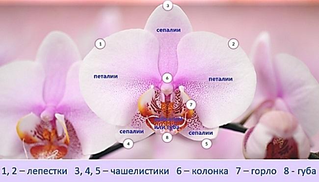 Строение цветка орхидеи - фото