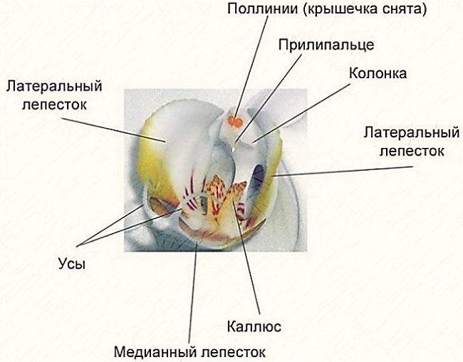 Схема цветка орхидеи