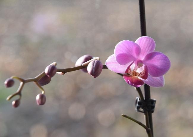Цветонос фаленопсиса с цветком