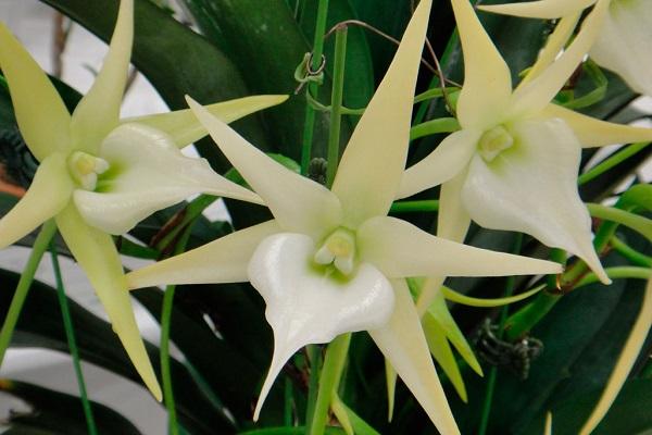 Белоснежная орхидея ангрекум