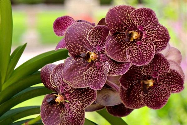 Темная орхидея ванда