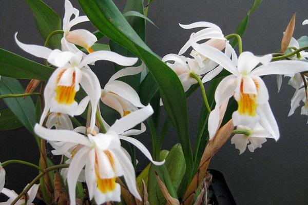 Пышное цветение орхидеи целогины