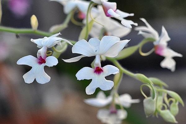 Нежная орхидея каланта