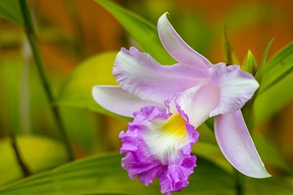 Каттлея с фиолетовыми цветками