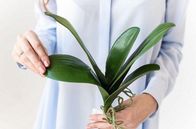 как вырастить орхидею из листа в домашних условиях