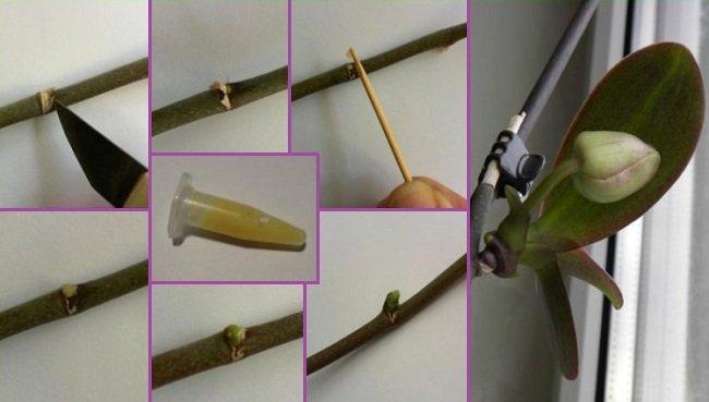 Обработка почки цитокининовой пастой