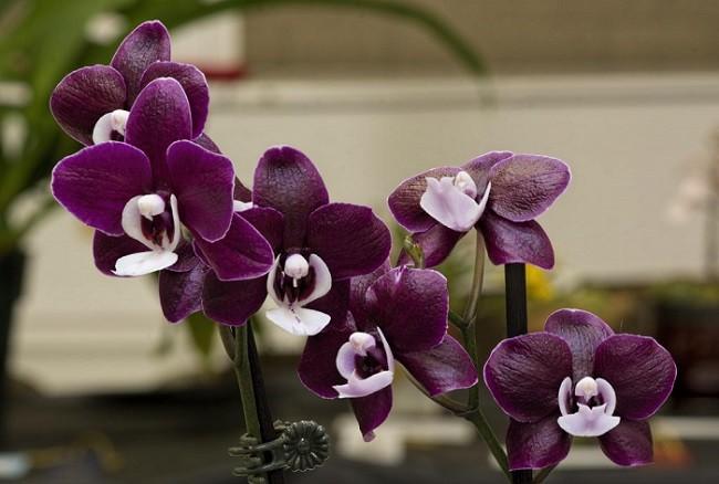 Фото цветения орхидеи Каода