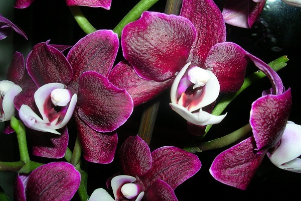 Пышное цветение Каоды