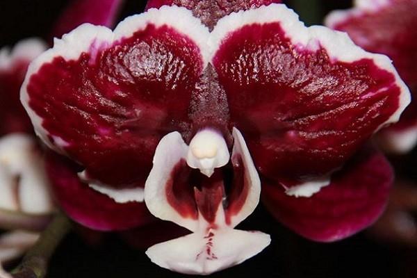 Контраст цветов у фаленопсиса
