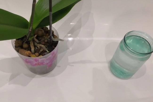 Подготовка орхидеи к подкормке