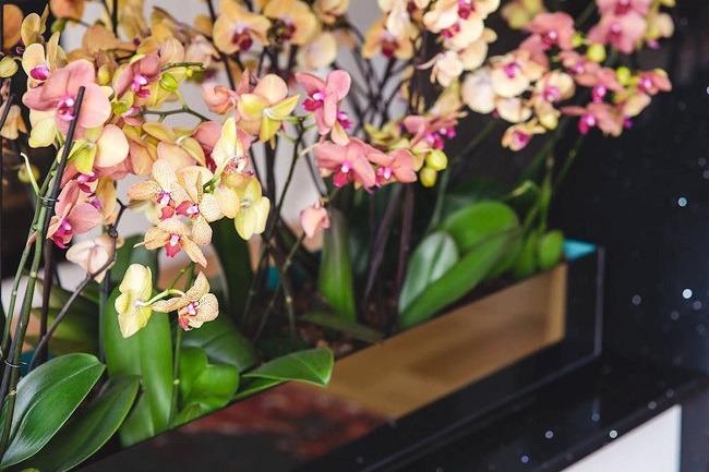 как несколько орхидей посадить в один горшок