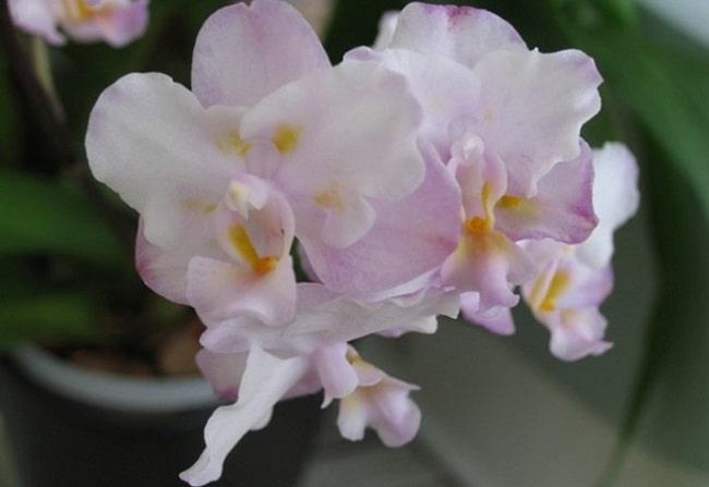Орхидея Сакура фото