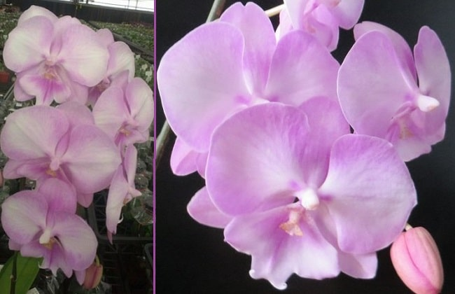 Орхидея Принцесса Сакура