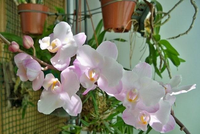 Орхидея Сакура в доме