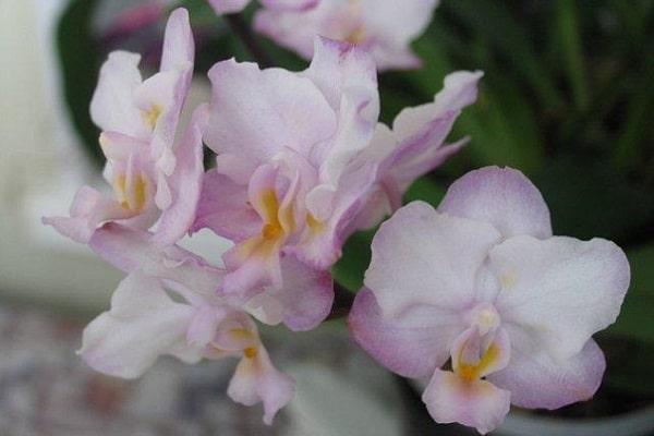 Орхидея Сакура дома