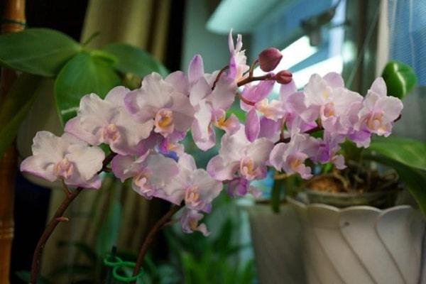 Каскадное цветение Сакуры