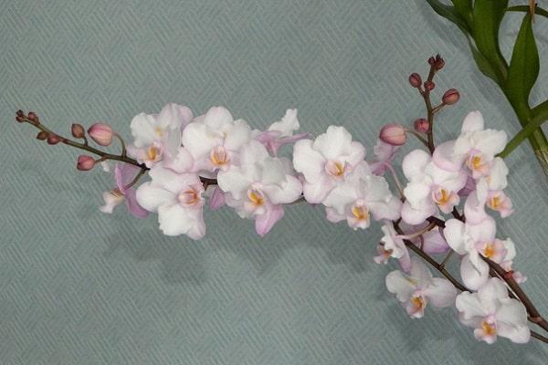 Цветение фаленопсиса Сакура