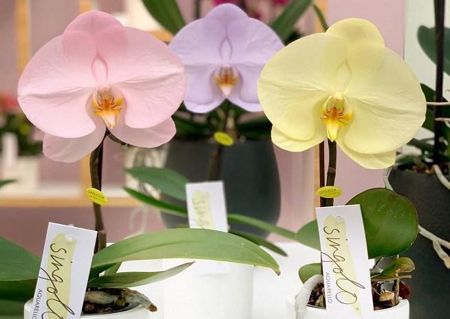 Орхидея Синголо фото