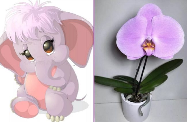 Схожесть Синголо со слоненком
