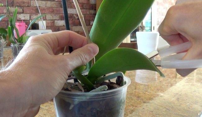Как срезать цветоном орхидеи