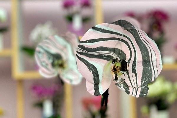 Синголо - расцветка зебра