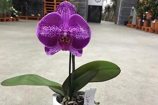 Яркая фиолетовая орхидея