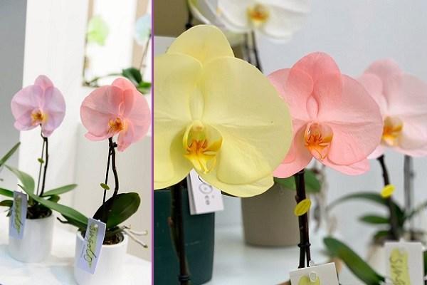 Синголо орхидея фото