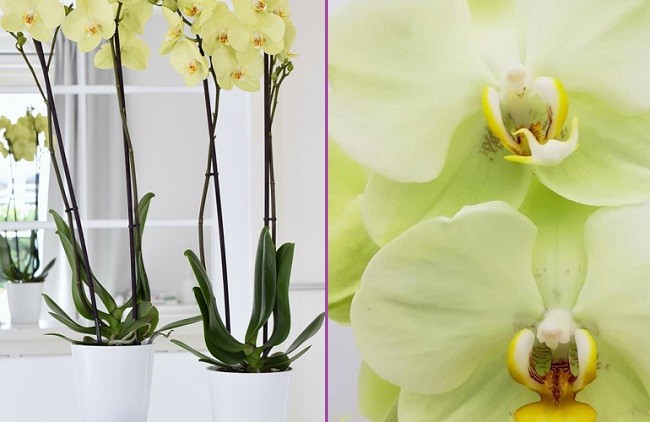 Орхидея Яра Брайт фото
