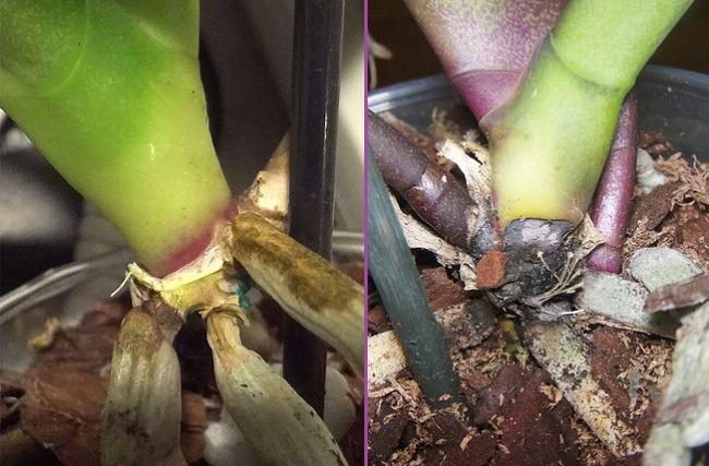 Фузариоз орхидеи