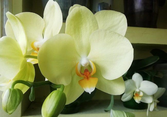 Цветение Яра Брайт в домашних условиях