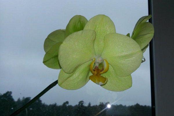Домашнее цветение желтой орхидеи