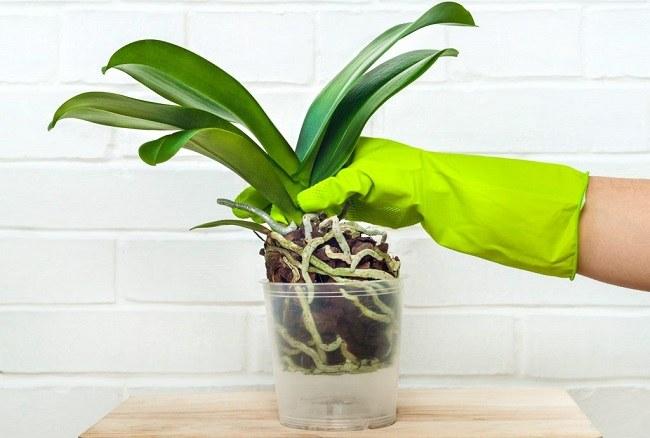 Пересадка орхидеи в перевалку