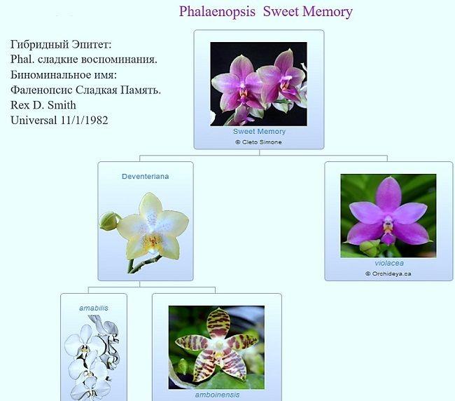 Родословная фаленопсиса Лиодоро