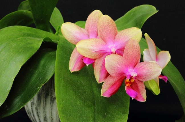 Плавные переходы цвета фаленопсиса