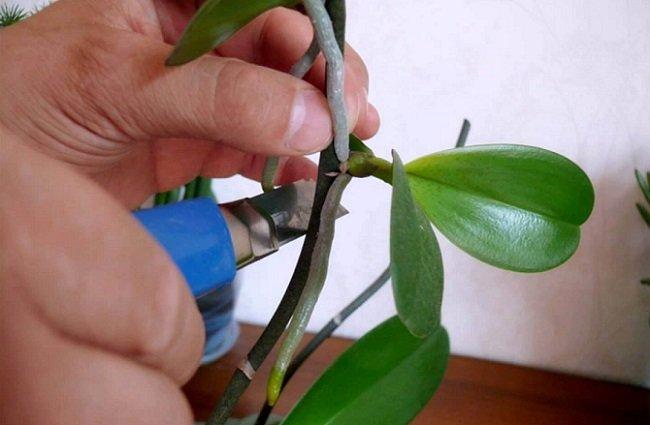 Как срезать детку от орхидеи