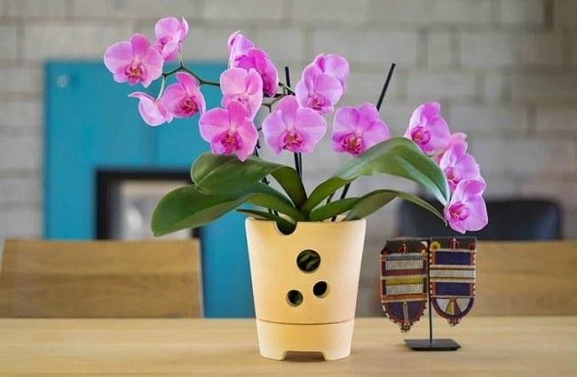 Цветущий фаленопсис дома на столе