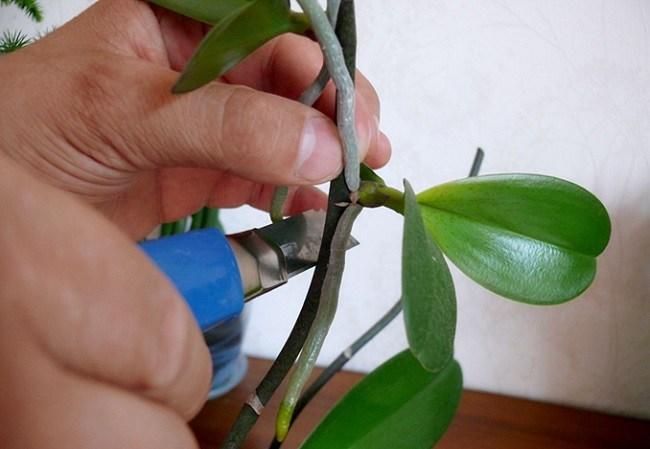 Срезание детки от орхидеи