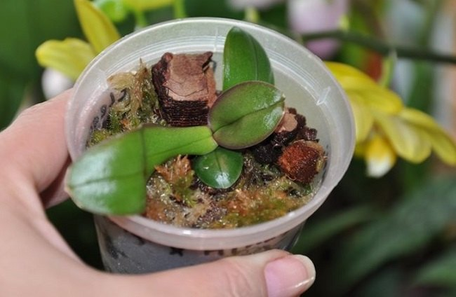 Пересадка детки орхидеи