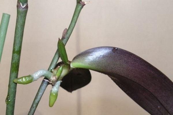 Детка на орхидее с корешками