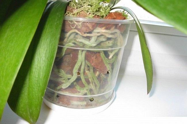 Корни орхидеи видны в прозрачном горшке