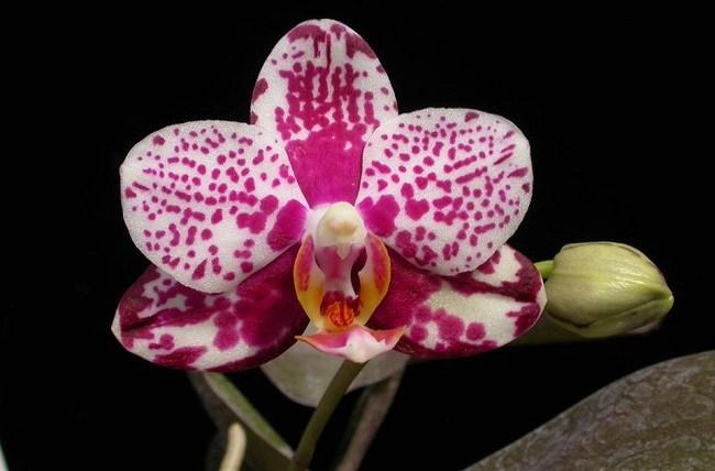 Орхидея Golden Peoker