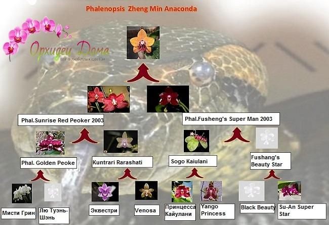 Родословная фаленопсиса анаконда